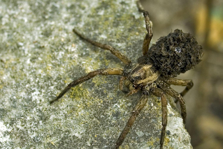 Araignée loup: qu'est-ce que c'est, comment s'en débarrasser?