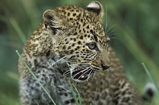 Face à face avec les guépards et les léopards
