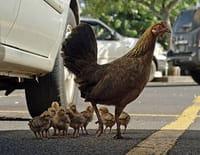 Grandeurs nature : La planète des poules