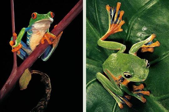 Grenouille aux yeux rouges et grenouille volante