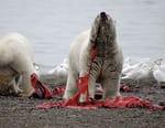 Le grand festin des ours polaires