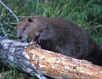 Les ruses du castor