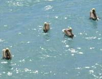 Curieuse de nature dans les îles : Lamantin et pélican brun en Guadeloupe