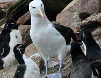 Grandeurs nature : Albatros et gorfou, une fable australe