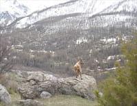 Michelle ou la vie sauvage : Les bouquetins des Alpes