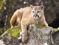 Puma, le seigneur des montagnes
