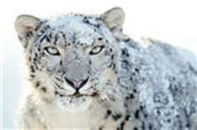 Le léopard des neiges oublie ses petits