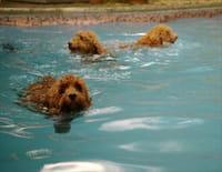 Waffle, le chien waouh  : La piscine de monsieur Willow