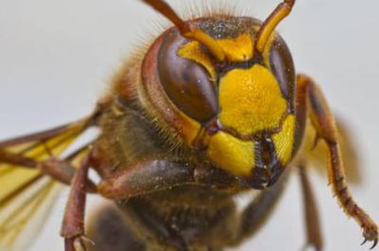 Unemouche tueuse pour éradiquer lamenace du frelon asiatique