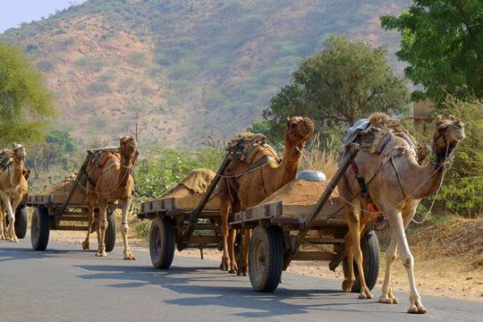 Un cortège de chameaux