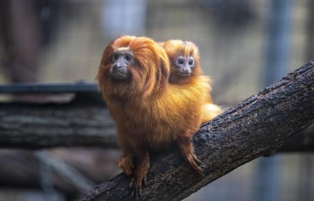 Des tamarins lions dorés au ZooParc de Beauval