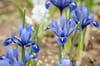 Iris: plantation, entretien et floraison de l'iris
