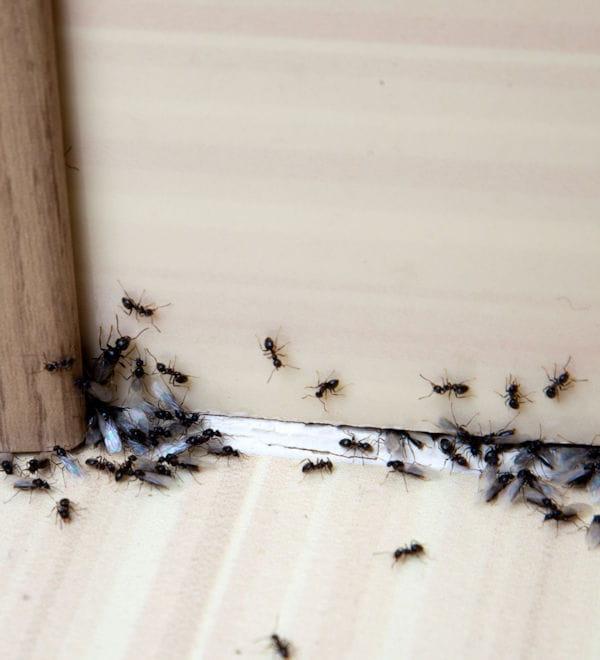 du citron pour repousser les fourmis. Black Bedroom Furniture Sets. Home Design Ideas