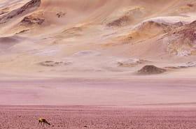 Au Chili, le désert de l'Atacama transformé en champ de fleurs [VIDEO]