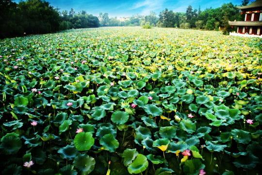Champs de lotus à l'infini