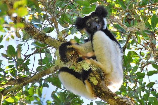 L'indri de Madagascar