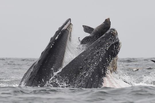 Lion de mer happé par une baleine: qu'est devenue l'otarie?