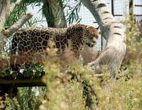 360°-GEO : Argentine : le retour du jaguar