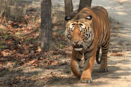Tigre en liberté près de Paris: panique aux abords de Disneyland