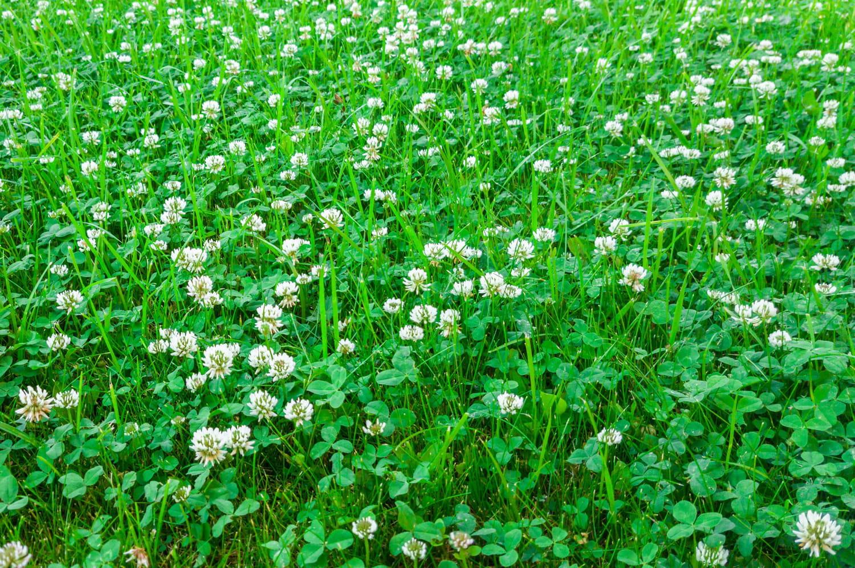 Trèfle: comment se débarrasser de cette plante dans votre pelouse