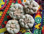 Mexique : à la recherche du cactus hallucinogène sacré