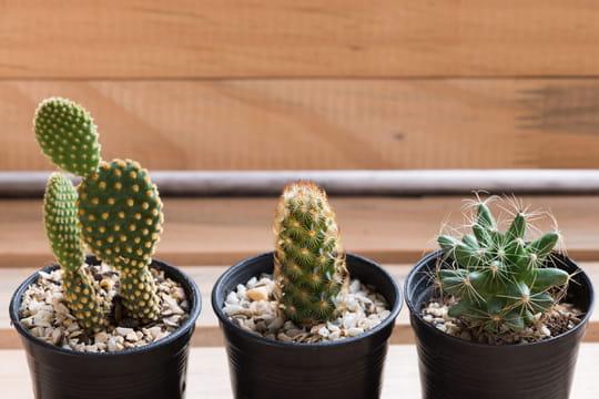 Cactus: plantation, entretien et floraison