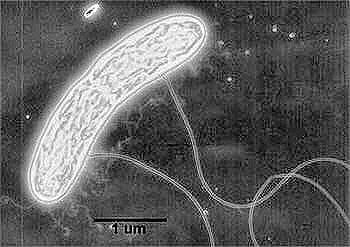 les petits poils disposés à la surface de la bactérie génèrent de l'électricité