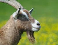 Pas si bêtes ! : Les chèvres savantes