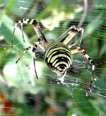 les fils de soie des araignées sont trois fois plus résistants que le kevlar.