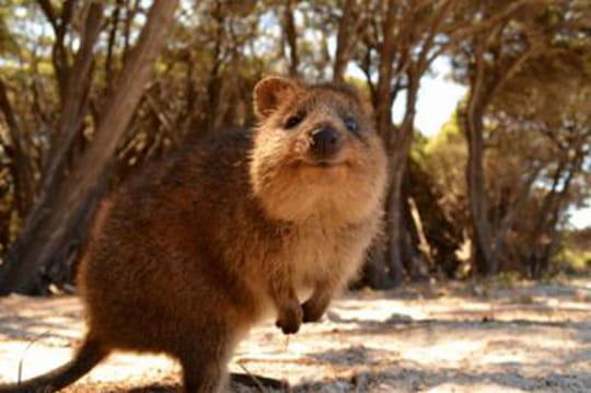 Quokka : voici l'animal le plus heureux du monde