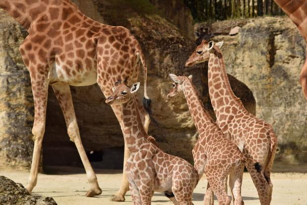 Des girafons au Bioparc de Doué-la-Fontaine