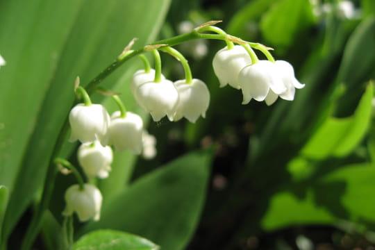 Muguet plante porte bonheur ou plante toxique ce qu 39 il faut savoir - Plante d interieur porte bonheur ...