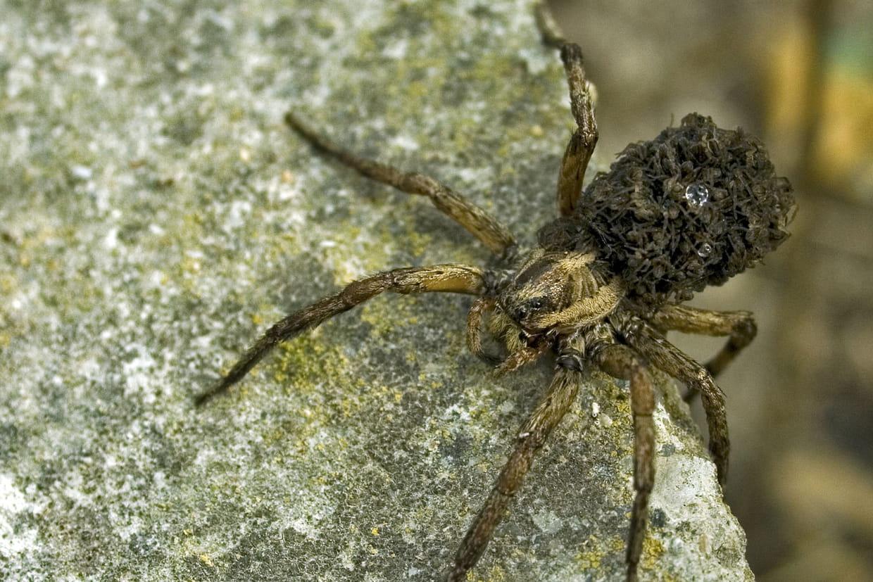 Probleme De Moucheron Dans La Cuisine araignée loup : qu'est-ce que c'est, comment s'en débarrasser ?