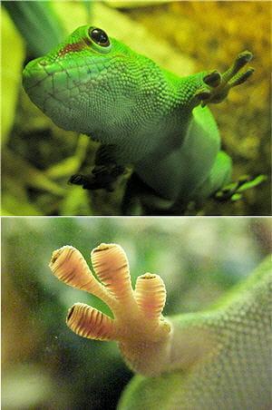 le gecko est capable de marcher au plafond sans tomber.