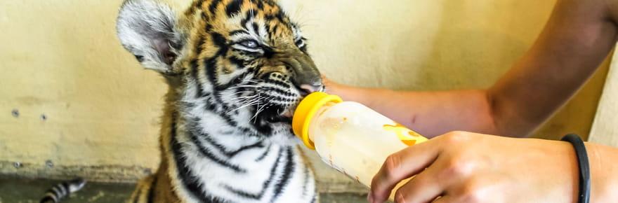 Temple des tigres en Thaïlande : 40bébés tigres retrouvés congelés