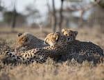 Au milieu des guépards