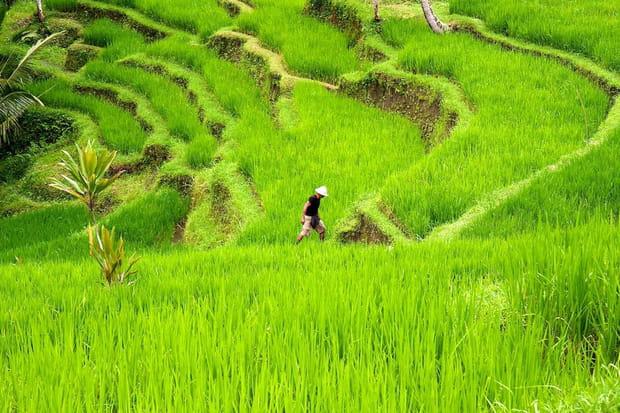 Le vert intense des rizières