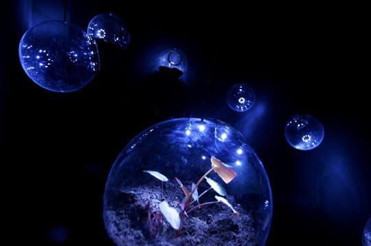 Bégonias sous bulles