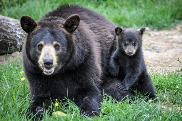 Des oursons à Planète sauvage