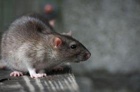 Sandy: les rats et leurs maladies vont-ils envahir NewYork?