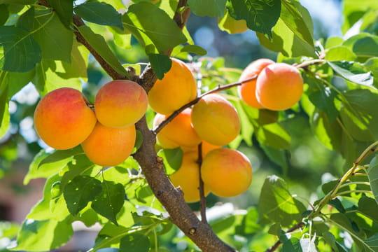 Abricotier: plantation, entretien, taille et récolte