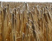 Notre pain quotidien : le blé