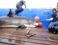 Shark Men : A quand la pause ?