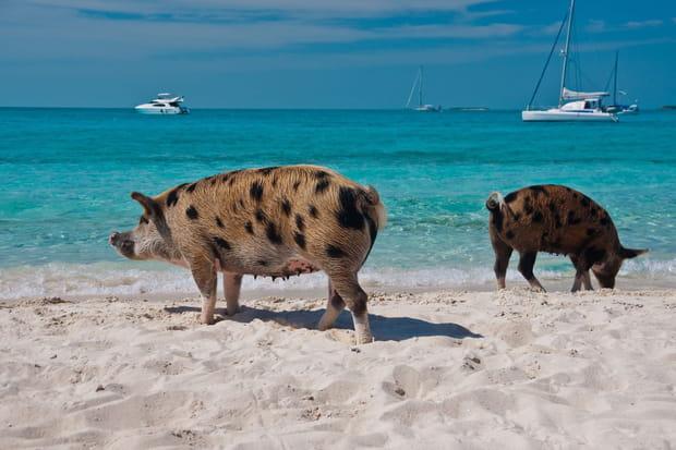Pig Beach aux Bahamas