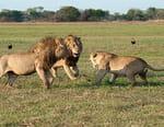 Les lions des marais