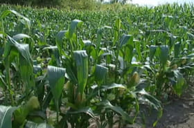 OGM autorisés: maïs, coton, soja... quels produits sont concernés