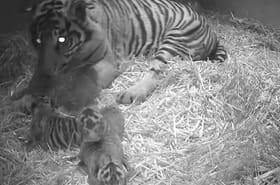 Trois petits tigres de Sumatra sont nés au zoo de Londres