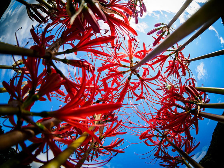 De magnifiques amaryllis au japon for Amaryllis rouge signification