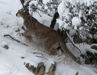 Puma contre loup