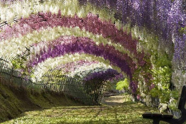 Kawachi Fuji, le tunnel de glycines